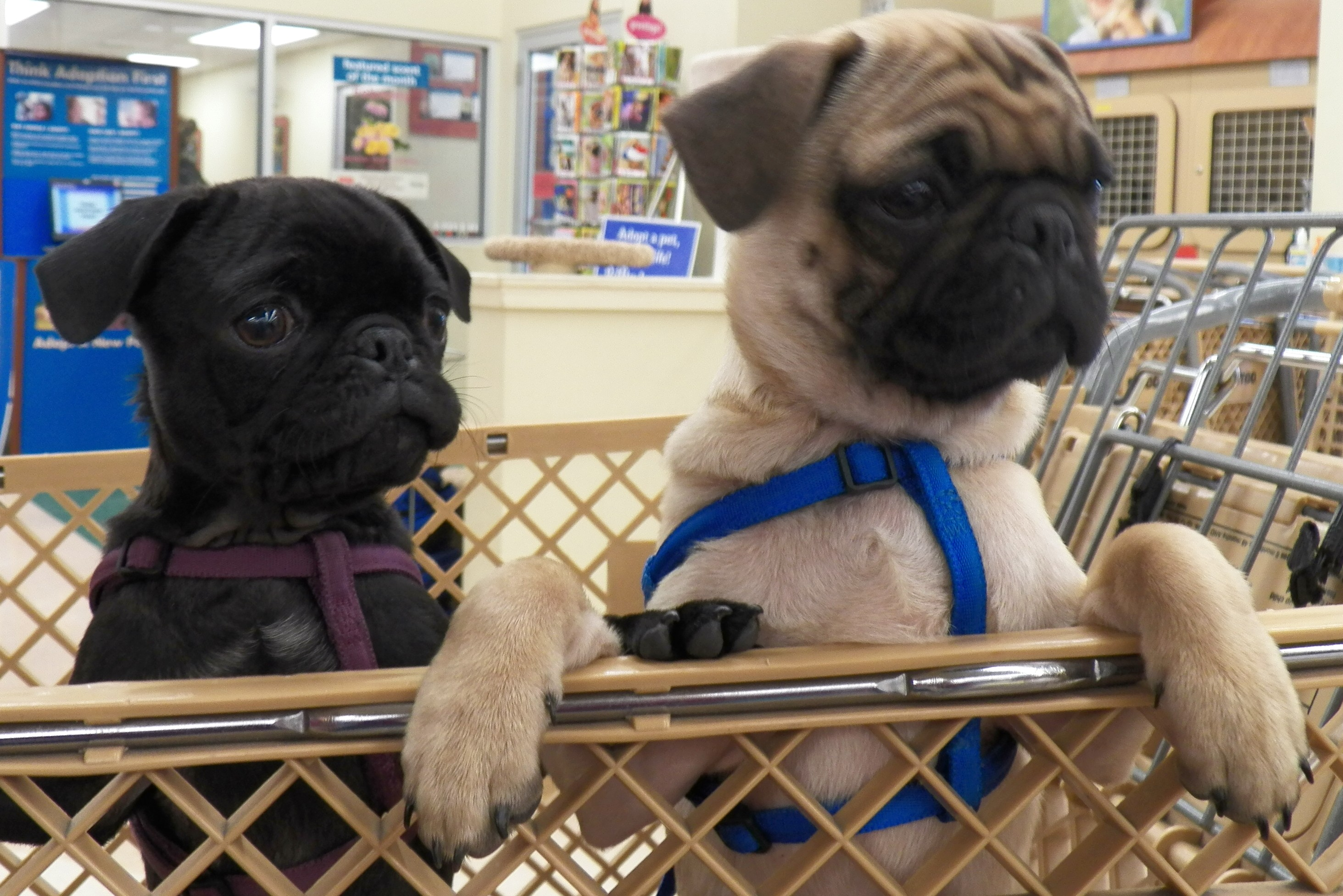 pug petsmart pups at petco quot a place for learning quot 2736