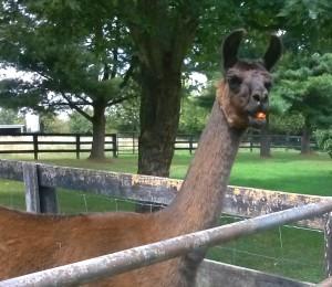 Animals Llama 10