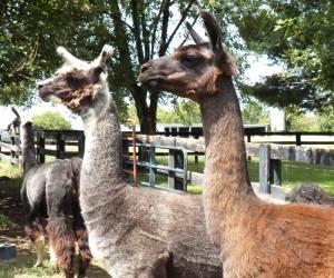 Animals Llama 2