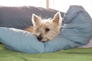 Mamie sleeping on MY pillow-her favorite nap spot
