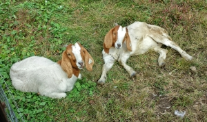 Cutest goats!
