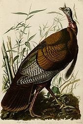 Wild Turkey, John J Audubon