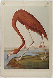 American Flamingo, John J Audubon