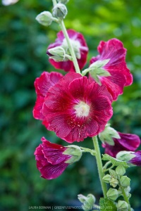 Hollyhock Reference Photo