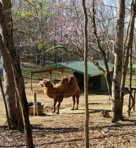 SP Camel