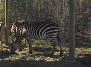 SP Zebra