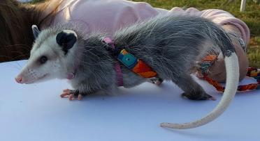 possum-10