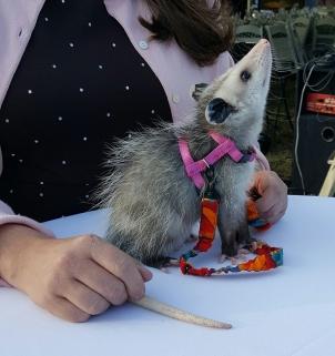 possum-11