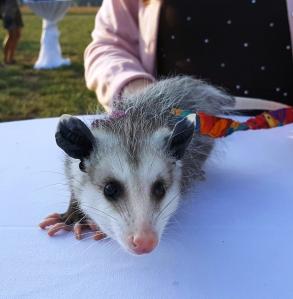 possum-3