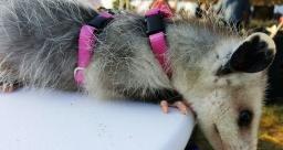 possum-4