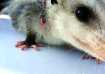 possum-5