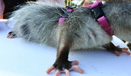 possum-6