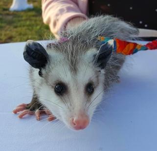 possum-8