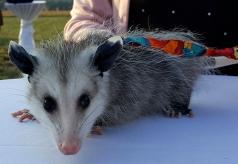 possum-9