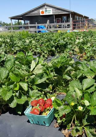 Strawberry Patch 1